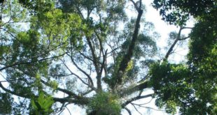 worlds-tallest-tropical-tree-found-in-malaysia