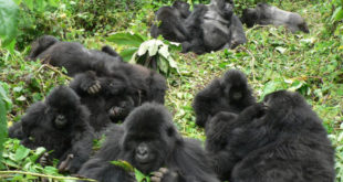 mountain-gorillas-are-friendly-to-familiar-neighbors-new-study-finds