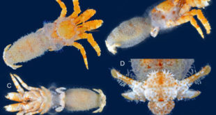 new-species-of-hermit-crab-discovered-in-gulf-of-mexico