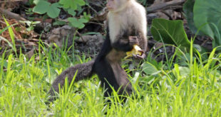scientists-sequence-genome-of-white-faced-capuchin