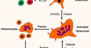 , Bone Cell Discovered, #Bizwhiznetwork.com Innovation ΛI