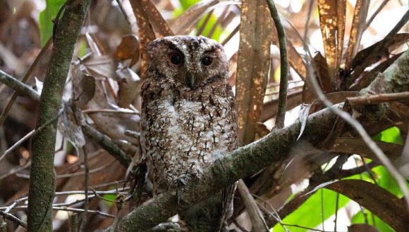 , Scops-Owl Subspecies, #Bizwhiznetwork.com Innovation ΛI