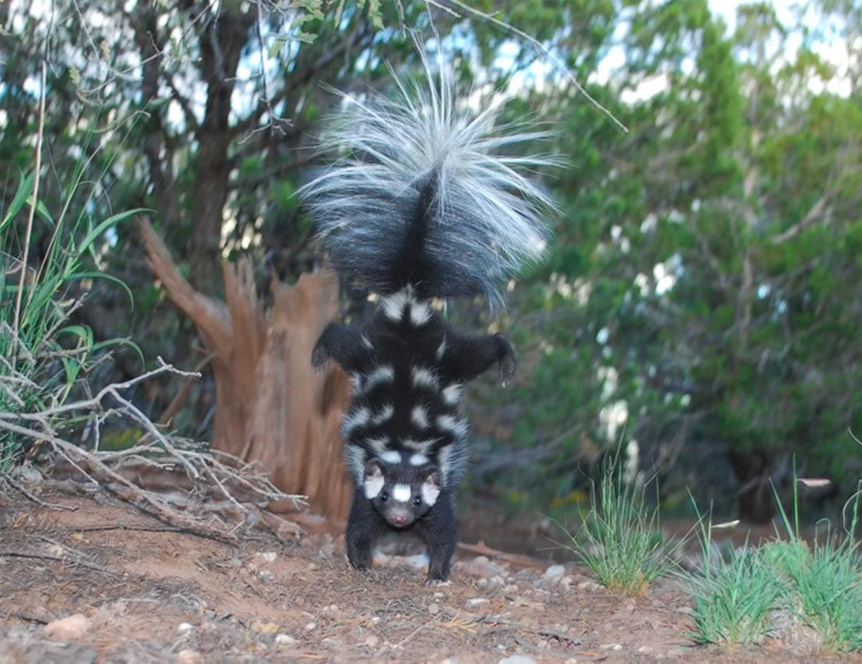 Skunk, Spotted Skunk Species, #Bizwhiznetwork.com Innovation ΛI