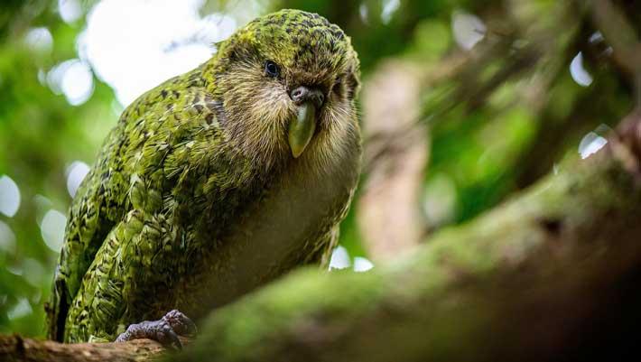 Parrot, The Kakapo Parrot, #Bizwhiznetwork.com Innovation ΛI
