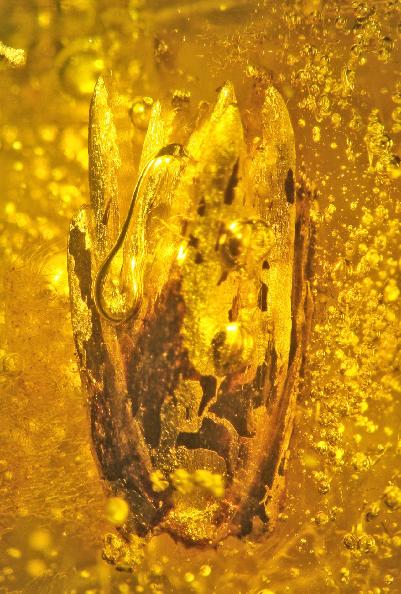 , Preserved  Baltic Amber, #Bizwhiznetwork.com Innovation ΛI