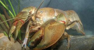 , Freshwater Crayfish, #Bizwhiznetwork.com Innovation ΛI